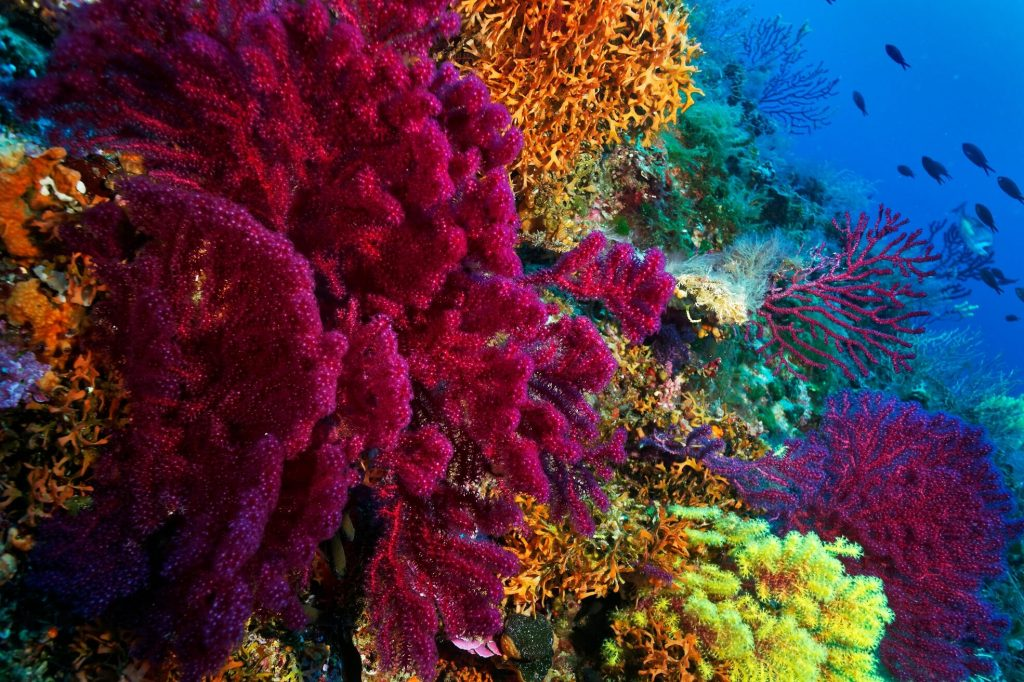 Gorgone corail