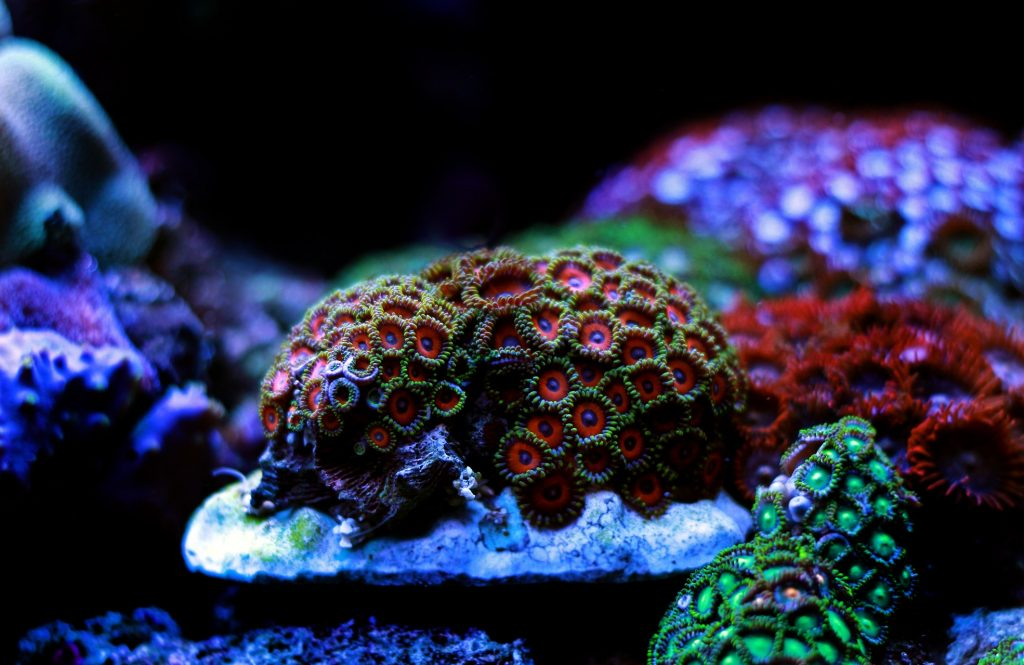 reproduction coraux : sexuée et asexuée